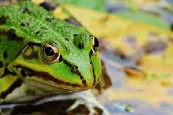 Les cuisses de grenouilles vertes un met très raffiné.