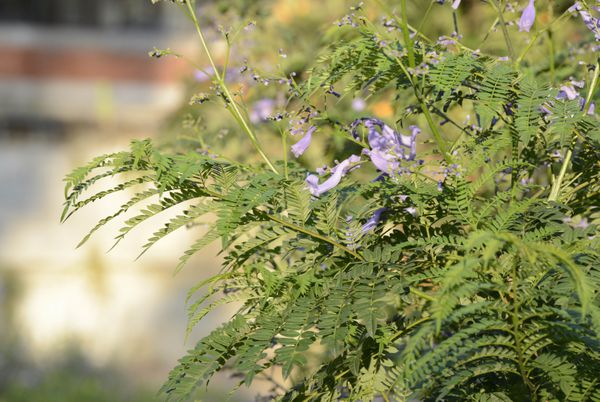 L'espèce la plus connue du Jacaranda est celle que l'on peut retrouver au Jardin Public: le flamboyant bleu.