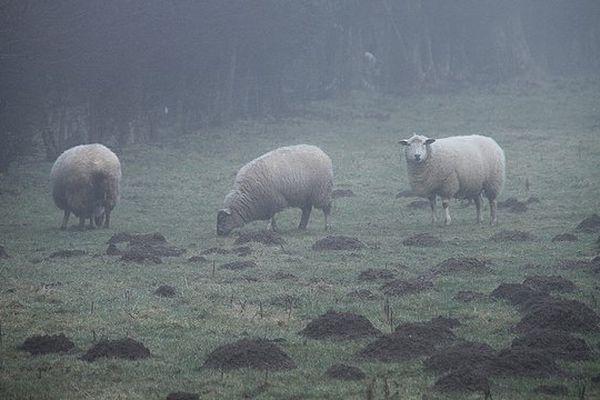Moutons brumeux