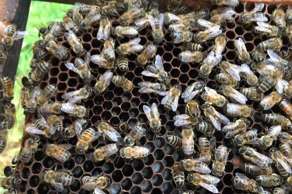 En 2021, les abeilles ont souffert des conditions climatiques.