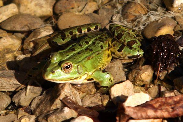 Les grenouilles (c'en est une sur cette image), crapauds, salamandres, tritons... doivent pouvoir se reproduire sans risque pour ne pas déséquilibrer leur milieu naturel.