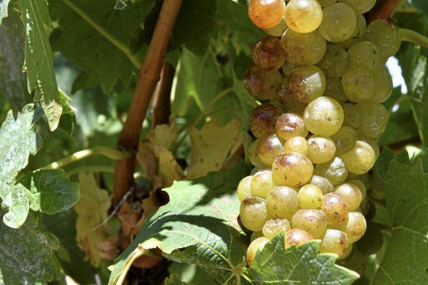 A Frontignan La Peyrade, la récolte du muscat sec a débuté à la mi-août.