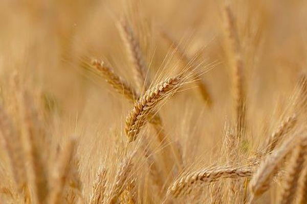 Epi de blé dur