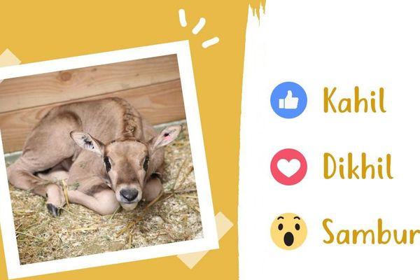 Le jeune mâle oryx beïsa du zoo de Beauval, né le 2 mars 2018