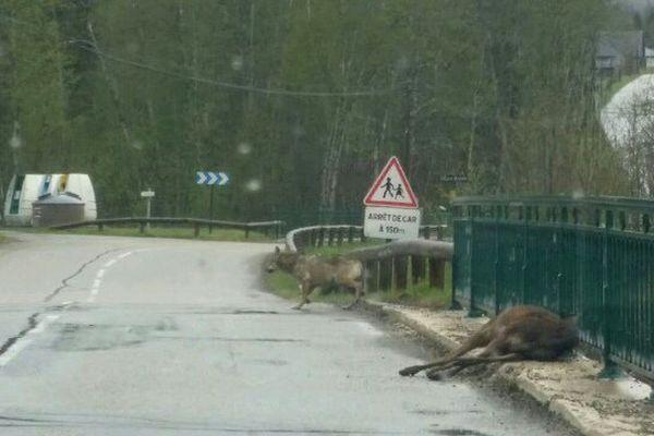 Le loup vient de s'attaquer à un cerf