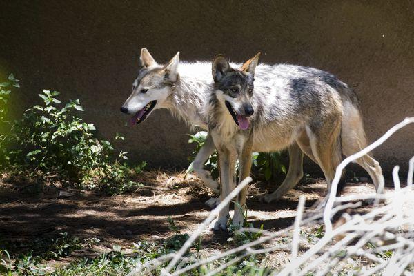 le loup a son musée dans le Finistère au coeur des Monts d'Arrée