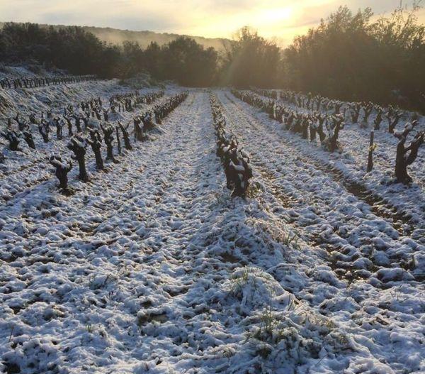 Pont-Saint-Esprit (Gard) - la vigne sous la neige après le gel nocturne - 26 mars 2020.