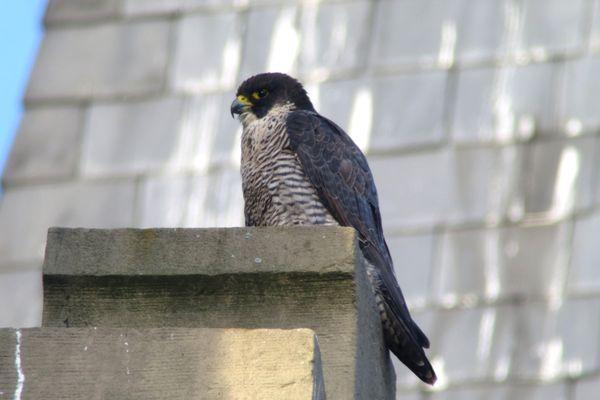 Valentine, un faucon pèlerin femelle, s'est établie sur les hauteurs d'une église à Ilkirch-Graffenstaden