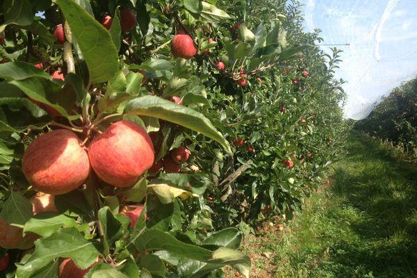 De bien belles pommes cette année.
