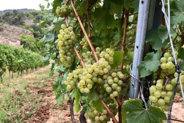 Dans les vignes de Limoux, les vendanges se font à la main - 27/08/2019