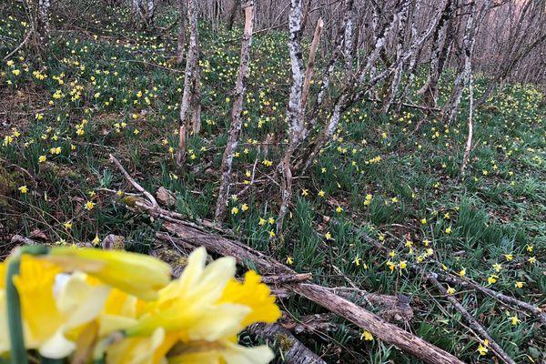 Des jonquilles par milliers dans les sous-bois de Coligny (Ain).