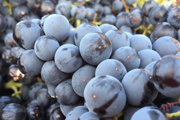 Des raisins mûrs pour les vendanges, l'automne dernier dans les Corbières. L'ex Languedoc-Roussillon est la première région viticole au monde en volume comme en surface de vignes plantées.