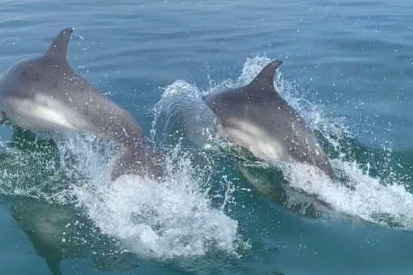 Deux des dauphins aperçus dimanche 5 septembre 2021 au large de Noirmoutier