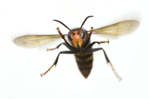 Vespa Velutina Nigrithorax n'est pas vraiment le bienvenu chez nous...