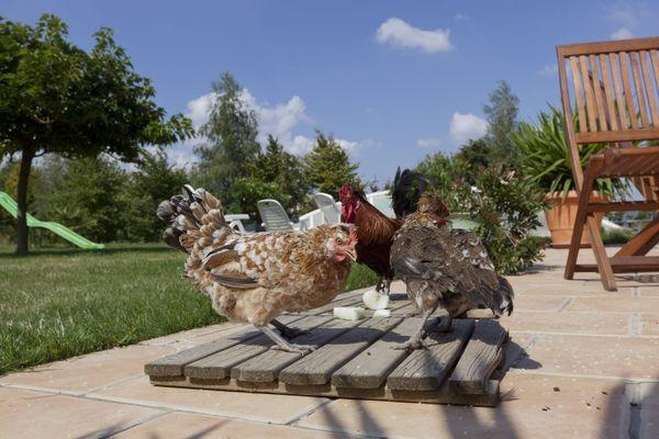 A Vendeuvre-sur-Barse, un coq est au coeur d'un conflit de voisinage (photo d'illustration)