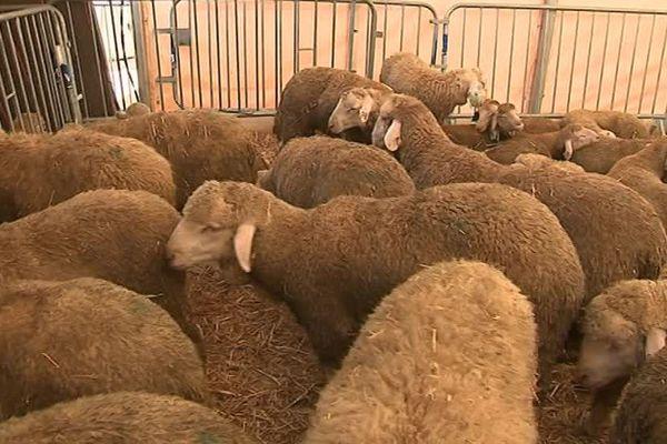 Les moutons attendent l'abattage pour la fête de l'Aïd-el-Kébir - 1er septembre 2017
