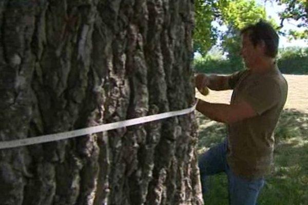 Le chêne pédonculé de Lacanche en Côte d'Or prend une vingtaine de centimêtres en vingt ans