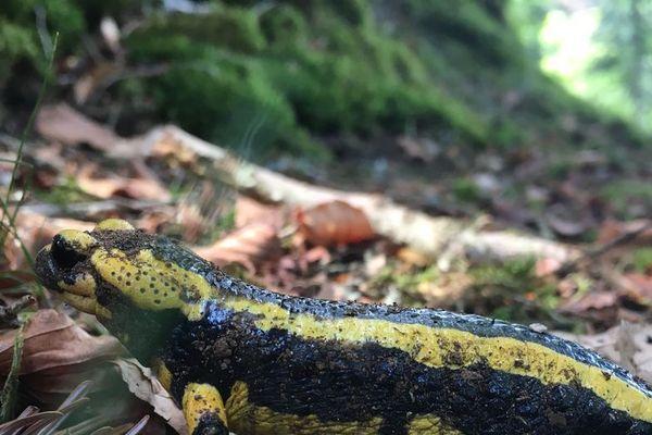 La salamandre tachetée de Villers-lès-Nancy fait partie de la liste rouge des espèces protégées. Le tribunal Administratif de Nancy, le 8 Juin 2020, suspend les arrêtés préfectoraux de déplacement et de destruction des salamandres.