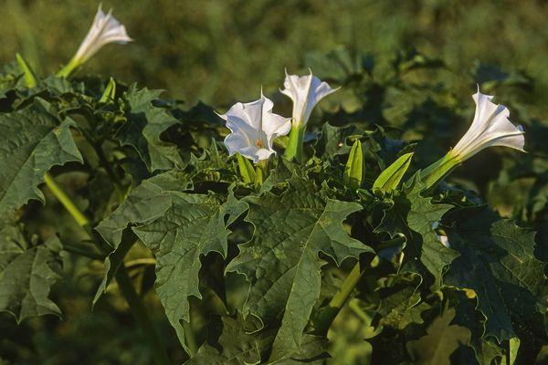 Datura stramonium, de jolies fleurs dans une peau de vache?