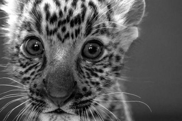 Olivier, un léopard accueilli au zoo-refuge de la Tanière à Nogent-le-Phaye (28)