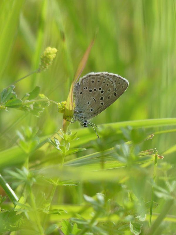 L'azuré de la croisette est un petit papillon de jour présent dans l'Aisne et l'Oise