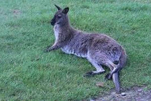 Le petit marsupial a été placé en quarantaine à l'infirmerie de Planète Sauvage