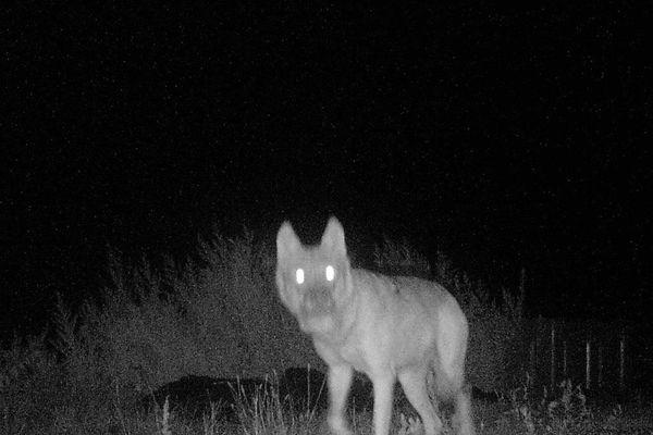 Photo de Loup prise par caméra nocturne sur l'exploitation de Nicolas Fleurot début septembre 2020
