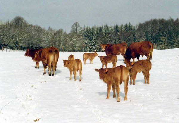 Les vaches limousines de Régis Coudert ans la neiges