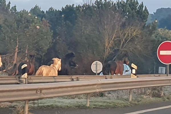 Une dizaine de chevaux se sont échappés du centre équestre de Saint-Brévin-les-Pins ce dimanche 5 janvier