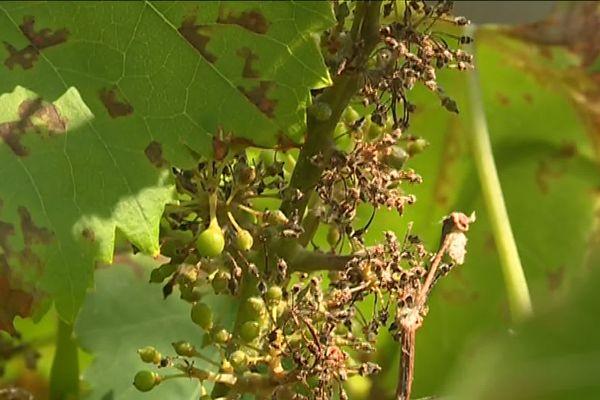 Diois, Bugey ou encore Savoie... les vignobles où le mildiou prospère à cause des pluies  (images archives)