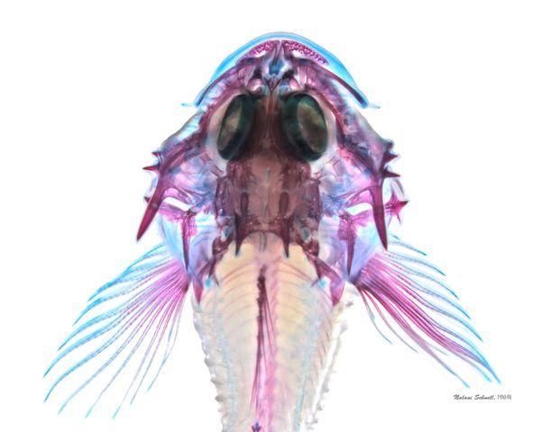 Comprendre comment les larves de poissons se nourrissent, survivent et grandissent dans un monde aquatique plein de dangers