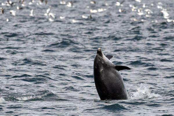 Un dauphin se baladant de la presqu'île de Quiberon au Croisic