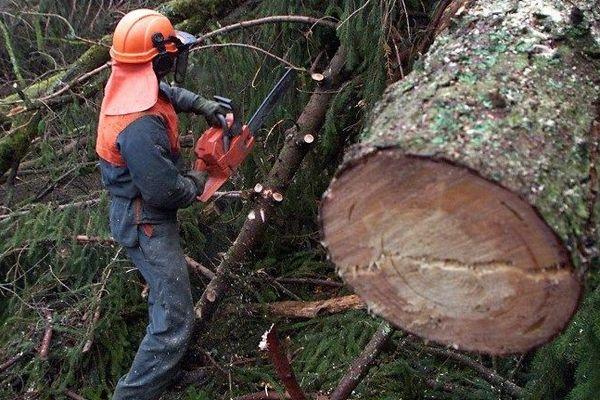Un bûcheron des services de l'ONF découpe du bois, le 20 janvier 2000 dans le domaine forestier d'Arches, une commune sinistrée par la tempête qui a dévasté fin décembre 1999 la forêt vosgienne, dans l'Est de la France.