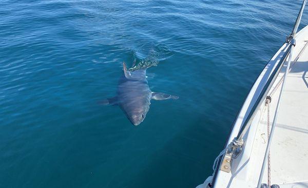 Entre Paimpol et la Côte de Granit rose le requin-taupe est régulièrement signalé depuis 2013