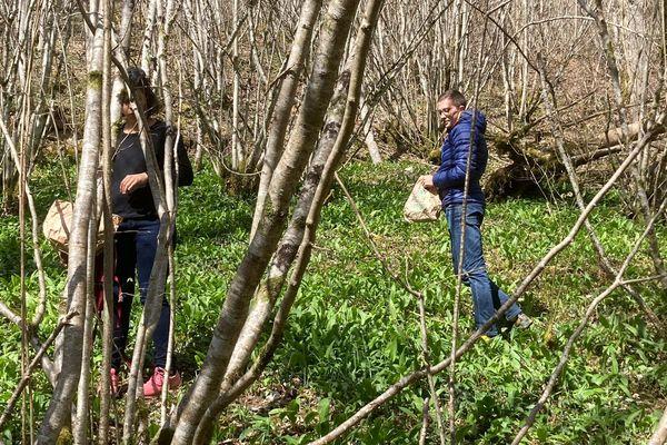 C'est dans les sous-bois que se cueille l'ail des ours dès la fin du mois de mars.