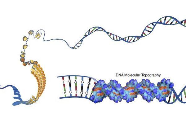 La structure de l'ADN est due aux nucléotides. Ils contiennent l'information génétique.