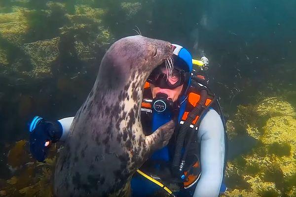 Un phoque gris fait un long câlin au plongeur anglais Ben Burville.
