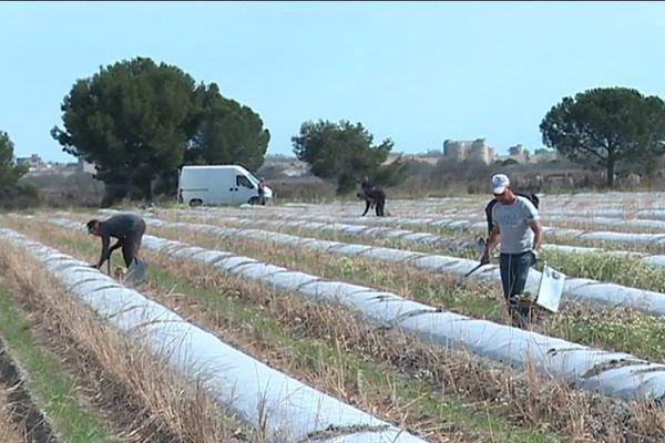 Un champ d'asperges blanches à Aigues-Mortes dans le Gard. La récolte a commencé. - 21 mars 2017