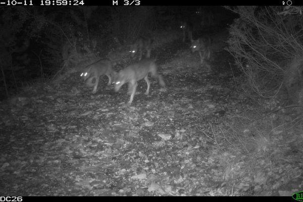 Le 11 octobre, une meute de 13 loups immortalisée par un piège photographique de la fédération départementale des chasseurs de la Drôme