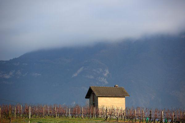 En Savoie, les vignes ont souffert d'un épisode tardif de gel au mois d'avril.