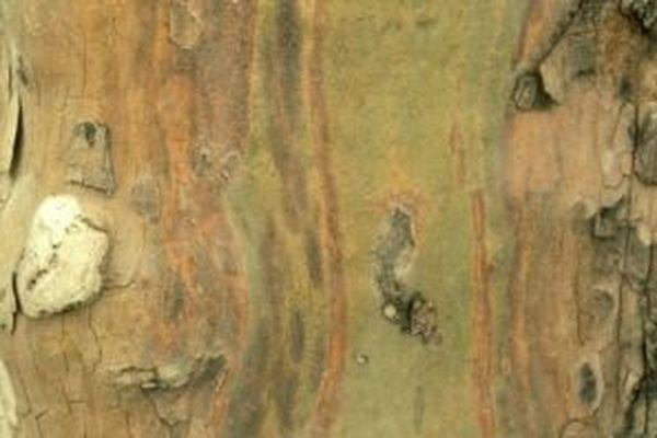 Le chancre coloré du platane est une maladie grave qui s'étend dans le sud de la France.