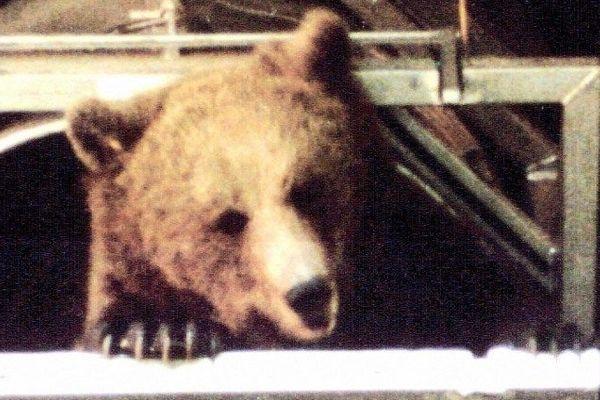 L'ourse slovène Melba lors de son lâcher à Melles (31) le 6 juin 1996
