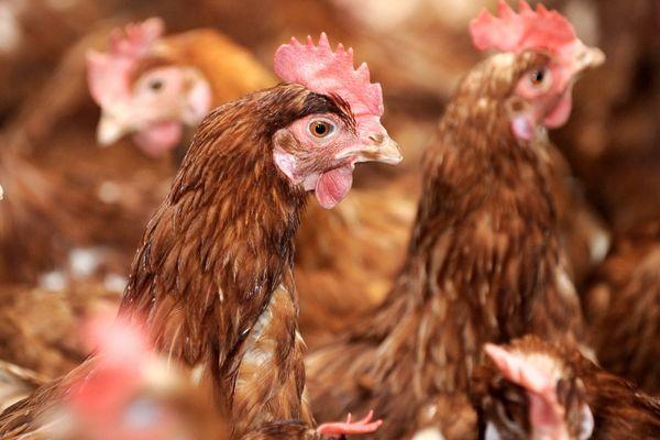 Ce sont les déjections de centaines de milliers de poules pondeuses qui provoquent des émanations d'ammoniaque, un gaz aussi malodorant que nocif pour la santé.