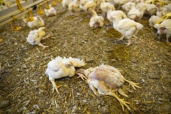 Poulets boiteux dans un élevage de l'Yonne
