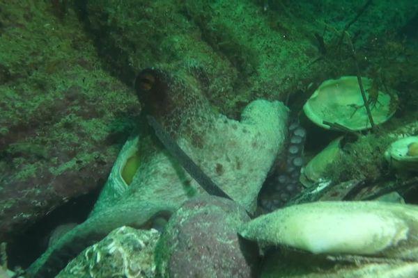 Cette année, les poulpes ravagent les fonds marins sur la côte Atlantique. Les céphalopodes dévorent mollusques et crustacés, ce qui inquiète grandement les pêcheurs.
