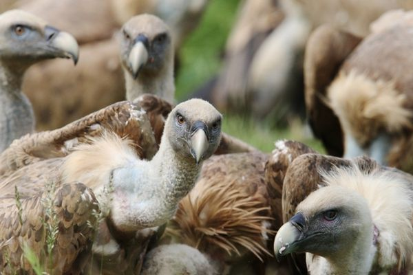 Photo d'archives de vautours dans les Pyrénées