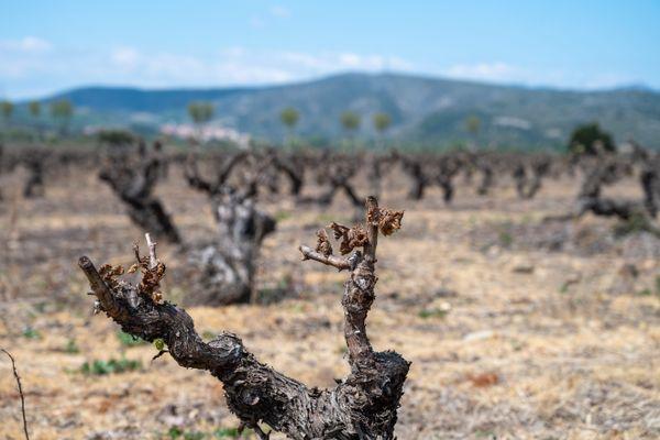Dans l'Aude, les vignes et les arbres fruitiers ont été fortement endommagés par le gel - 17 avril 2021.