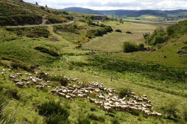 Châteauneuf-de-Randon (Lozère) - la transhumance des troupeaux - 26 juin 2013.