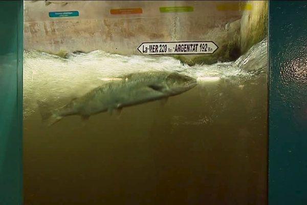 Un saumon sauvage dans une passe, à mi-chemin de son périple de 400 km qui mène de la mer à son lieu de reproduction périgourdin