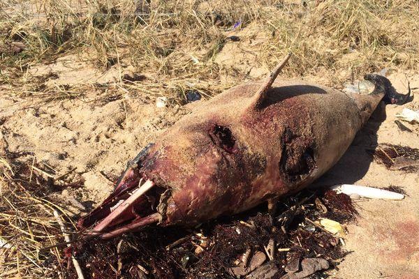 Un dauphin échoué sur une plage de Vendée, le 12  février 2020